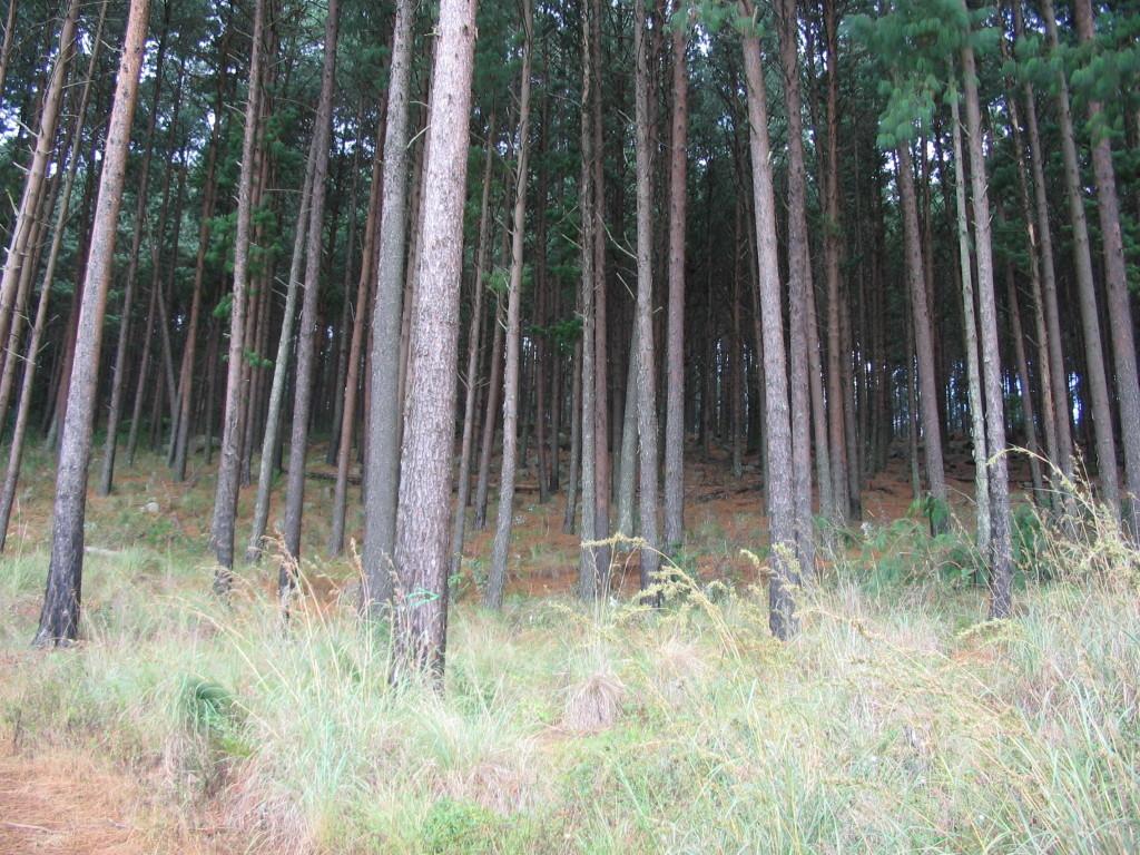pine-farms11