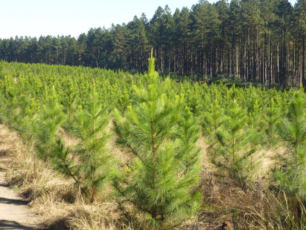 pine-farms2